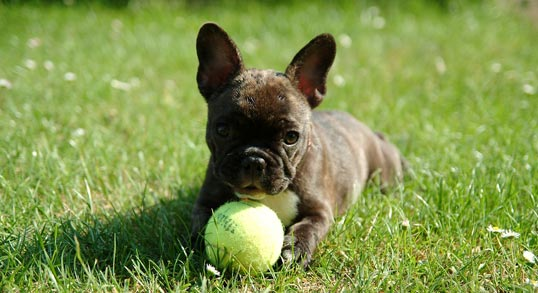 Miami French Bulldogs Contact Form